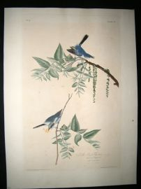 Audubon Havell C1830 Folio Hand Col Bird Print. Blue Grey Flycatcher 84. 1st Ed.